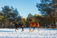 Rood veulen met een witte ster op de snuit op een de wintergebied in de zon royalty-vrije stock afbeeldingen