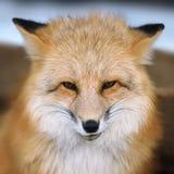 Rood vosportret Royalty-vrije Stock Foto