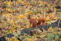 Rood weinig eekhoorn op de boomherfst royalty-vrije stock afbeelding