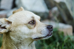 Rood-wit verdwaalde hond Stock Foto's