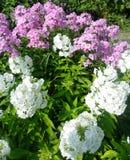 Rood-witte Bloemen Stock Foto's