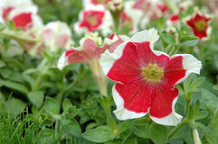 Rood-witte petunia stock foto's