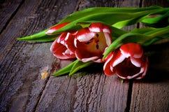 Rood-witte Tulpen Stock Afbeelding