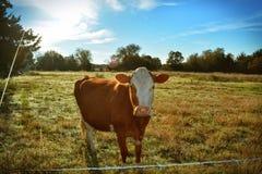 Roodachtige bruine koe Stock Foto