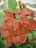 Roodachtige hybride kroon van doornen royalty-vrije stock afbeelding