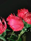 Roodachtige rozen royalty-vrije stock fotografie