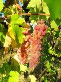 Roodachtige witte druif Royalty-vrije Stock Afbeeldingen