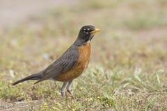 Roodborstlijster, American Robin,Turdus migratorius royalty free stock photos