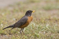 Roodborstlijster, americano Robin, migratorius del Turdus fotografia stock libera da diritti