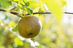 Roodbruin Apple royalty-vrije stock foto