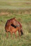 Roodbruin paard Stock Afbeelding