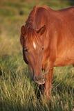 Roodbruin paard #2 Stock Foto's