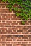 Roodbruine Bakstenen muur met Klimop Royalty-vrije Stock Fotografie