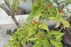 Roodgloeiende Spaanse peper of Spaanse peperspeper Royalty-vrije Stock Foto