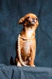 Roodharige Chihuahua in Studio Stock Afbeeldingen