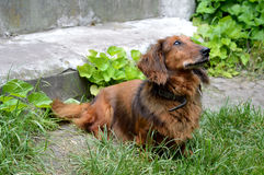 Roodharige dachhundhond Stock Foto's