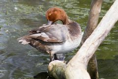 Roodharige Duck Preening op een Logboek stock foto's