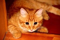 Roodharige grote kat Stock Foto's