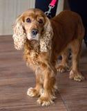 Roodharige hond cocker spaniel met droevige en mooie ogen royalty-vrije stock foto