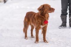 Roodharige hond in de winter stock afbeeldingen