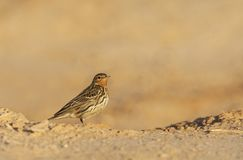 Roodkeelpieper, Red-Throated Pipit, Anthus cervinus stock images