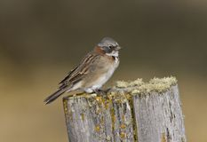 Roodkraaggors, Rufous-collared Sparrow, Zonotrichia capensis stock photo