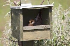 Roodpootvalk, Red-footed Falcon, Falco vespertinus stock photography