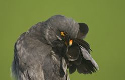 Roodpootvalk, Red-Footed Falcon, Falco vespertinus stock images