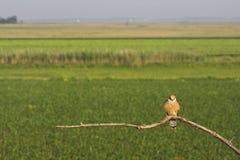 Roodpootvalk, Red-footed Falcon, Falco vespertinus stock photo