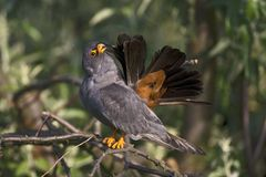 Roodpootvalk, Red-Footed Falcon, Falco vespertinus royalty free stock photo