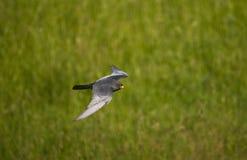 Roodpootvalk, rood-Betaalde Valk, Falco-vespertinus royalty-vrije stock fotografie