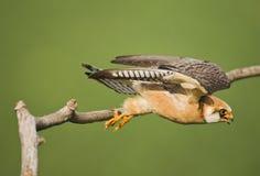 Roodpootvalk, rood-Betaalde Valk, Falco-vespertinus stock foto's