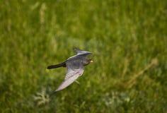 Roodpootvalk, rood-Betaalde Valk, Falco-vespertinus royalty-vrije stock foto