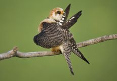 Roodpootvalk, rood-Betaalde Valk, Falco-vespertinus royalty-vrije stock afbeelding