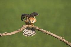 Roodpootvalk, rood-Betaalde Valk, Falco-vespertinus stock foto
