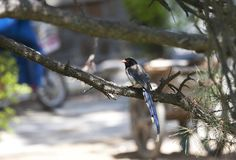 Roodsnavelkitta, Red-billed Blue Magpie, Urocissa erythroryncha stock images