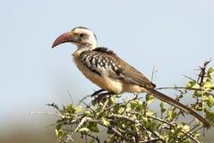 Roodsnaveltok, Northern Red-billed Hornbill, Tockus erythrorhynchus stock photo