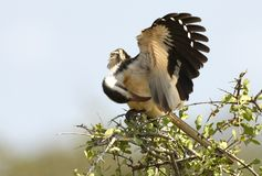 Roodsnaveltok, Rot-berechneter Nordhornbill, Tockus-erythrorhync stockfotos