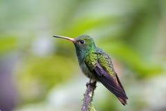 Roodstaartamazilia Rufous-tailed kolibri, Amazilia tzacatl royaltyfri fotografi