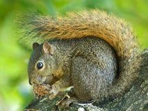 Roodstaartboomeekhoorn, Red-tailed Squirrel, Sciurus Granatensis stock photo