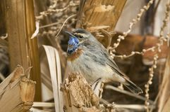 Roodsterblauwborst, Red-spotted Bluethroat, Luscinia svecica svecica. Volwassen mannetje Roodsterblauwborst op doortrek in Eilat; Adult male Red-spotted stock image