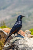 Roodvleugelspreeuw or Red winged Starling Royalty Free Stock Photography