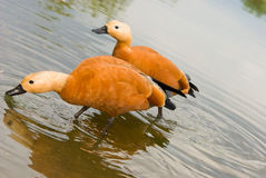 Roody Shelduck Stock Images