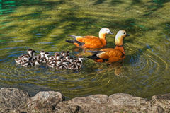 Roody shelduck family in pond. Roody shelduck family in zoo pond Royalty Free Stock Images