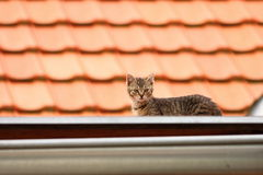 Roof kitten Royalty Free Stock Image
