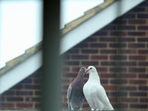 Roof Love Doves. This photo shows a pair of Doves in love royalty free stock photography