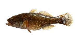 Roofdier zoetwatervissen Stock Afbeelding