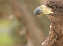 Roofvogel Royalty-vrije Stock Afbeeldingen