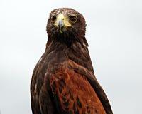 Roofvogel stock fotografie