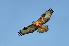Roofvogel tijdens de vlucht stock afbeelding